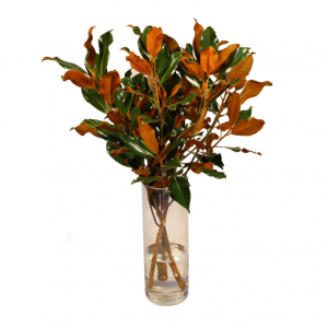Magnolia 3′ Fresh Cut Stems